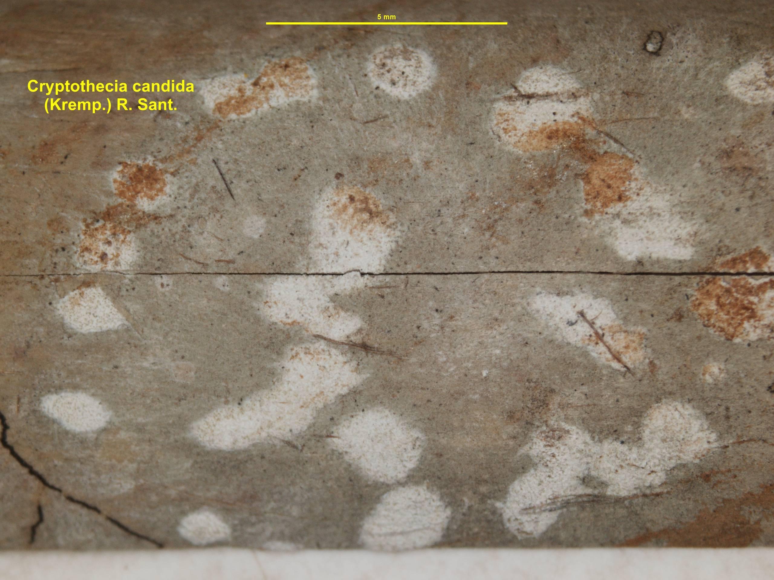 Image of <i>Cryptothecia candida</i> (Kremp.) R. Sant.