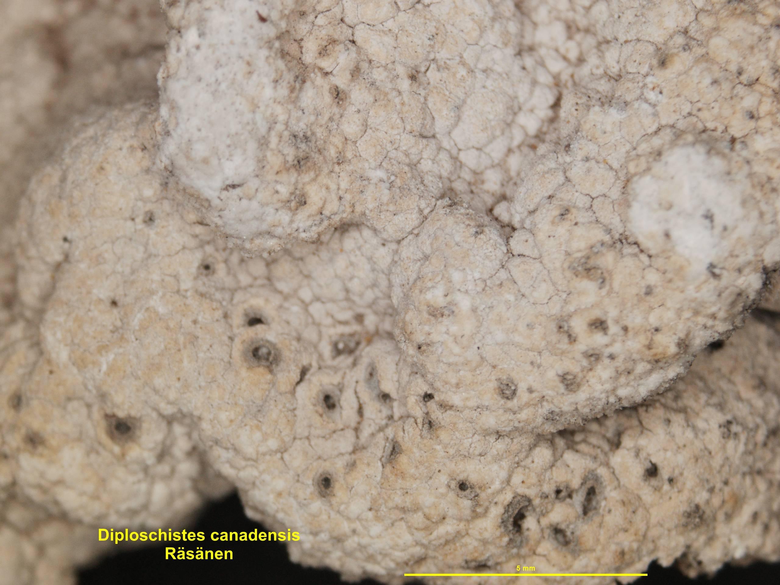 Image of <i>Diploschistes canadensis</i>