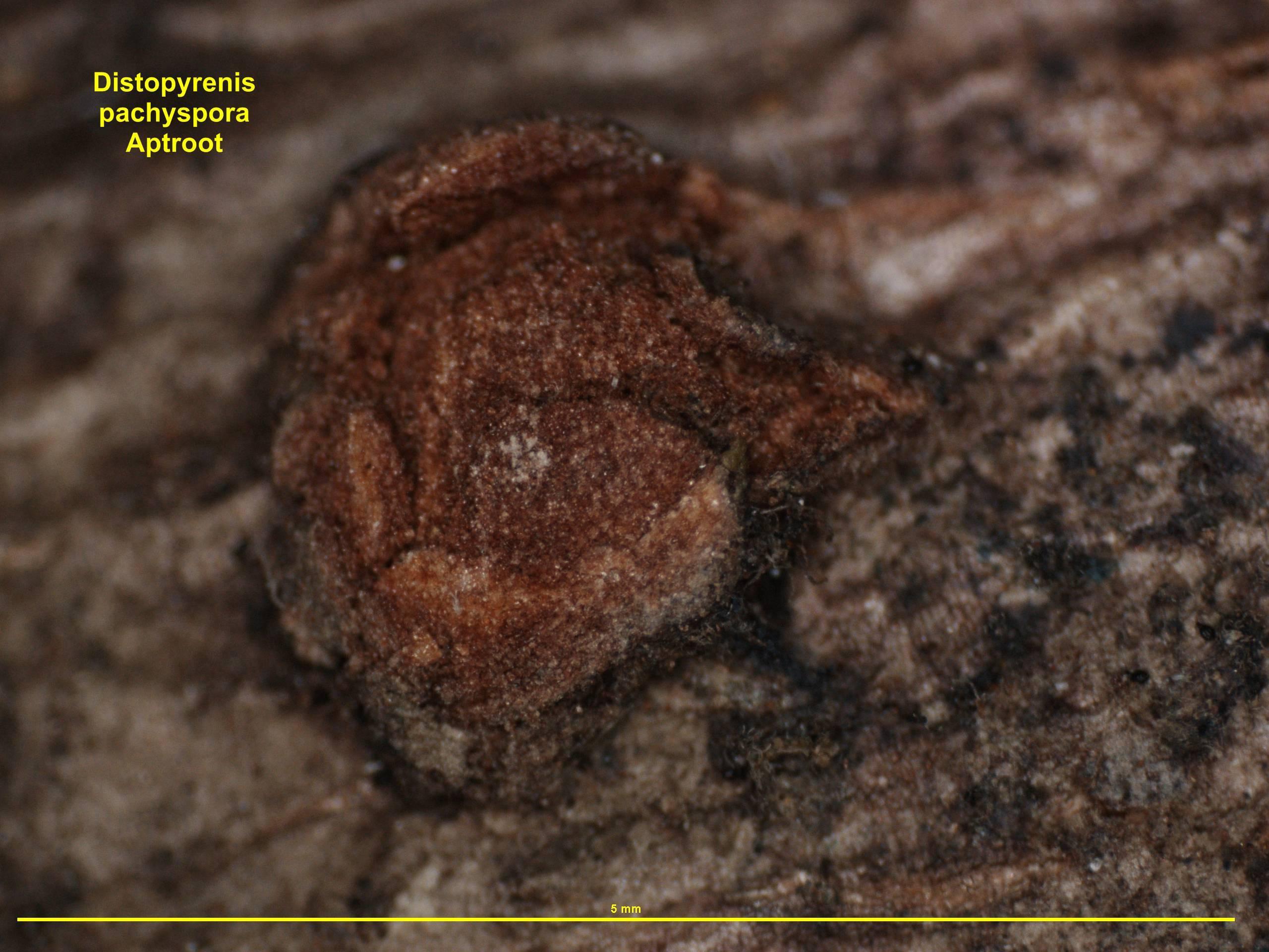 Image of <i>Distopyrenis pachyspora</i> Aptroot