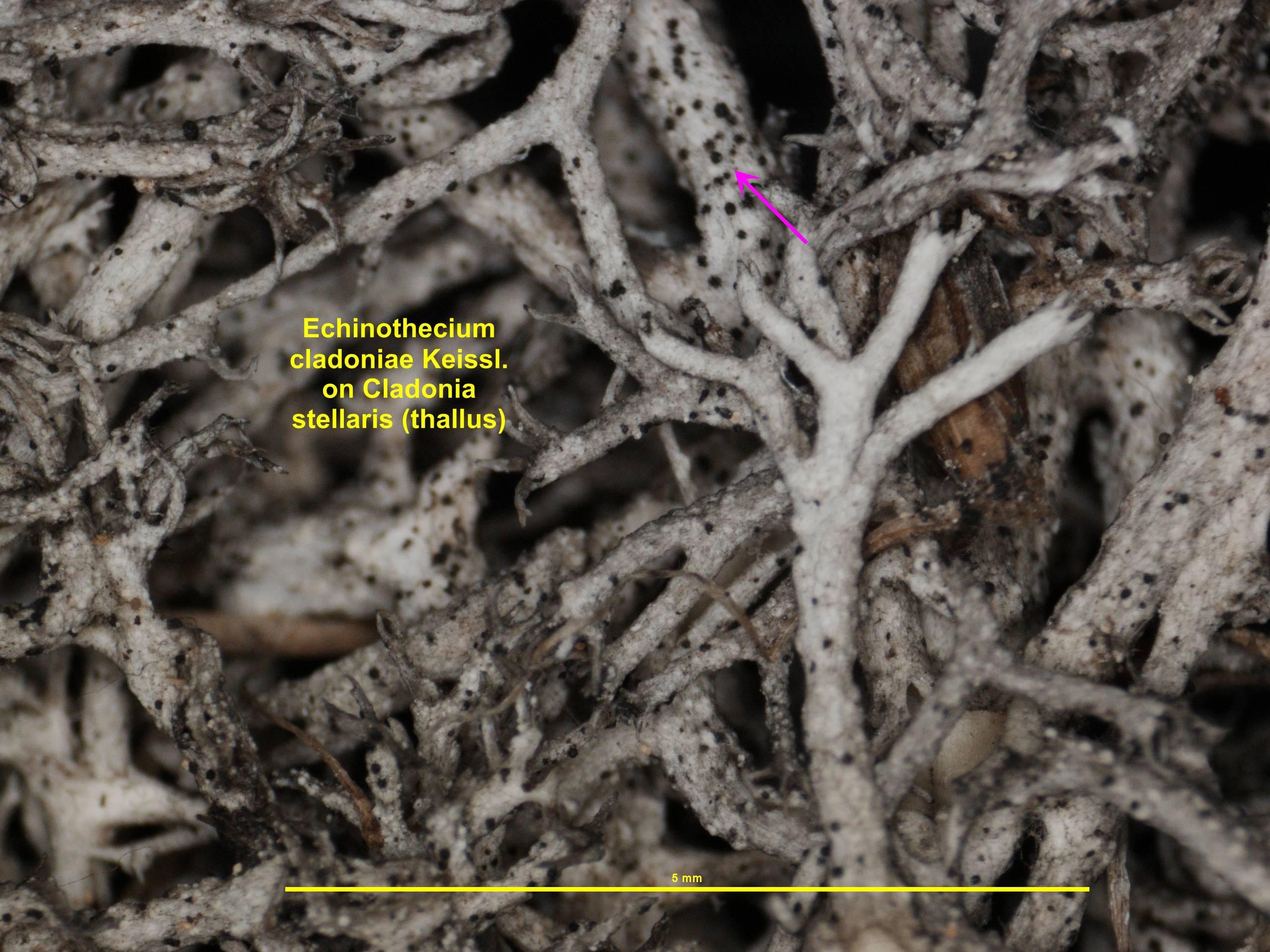 Image of <i>Echinothecium cladoniae</i> Keissl. 1930