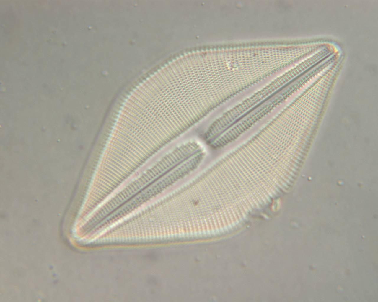 Image of <i>Navicula prodiga</i> D. G. Mann