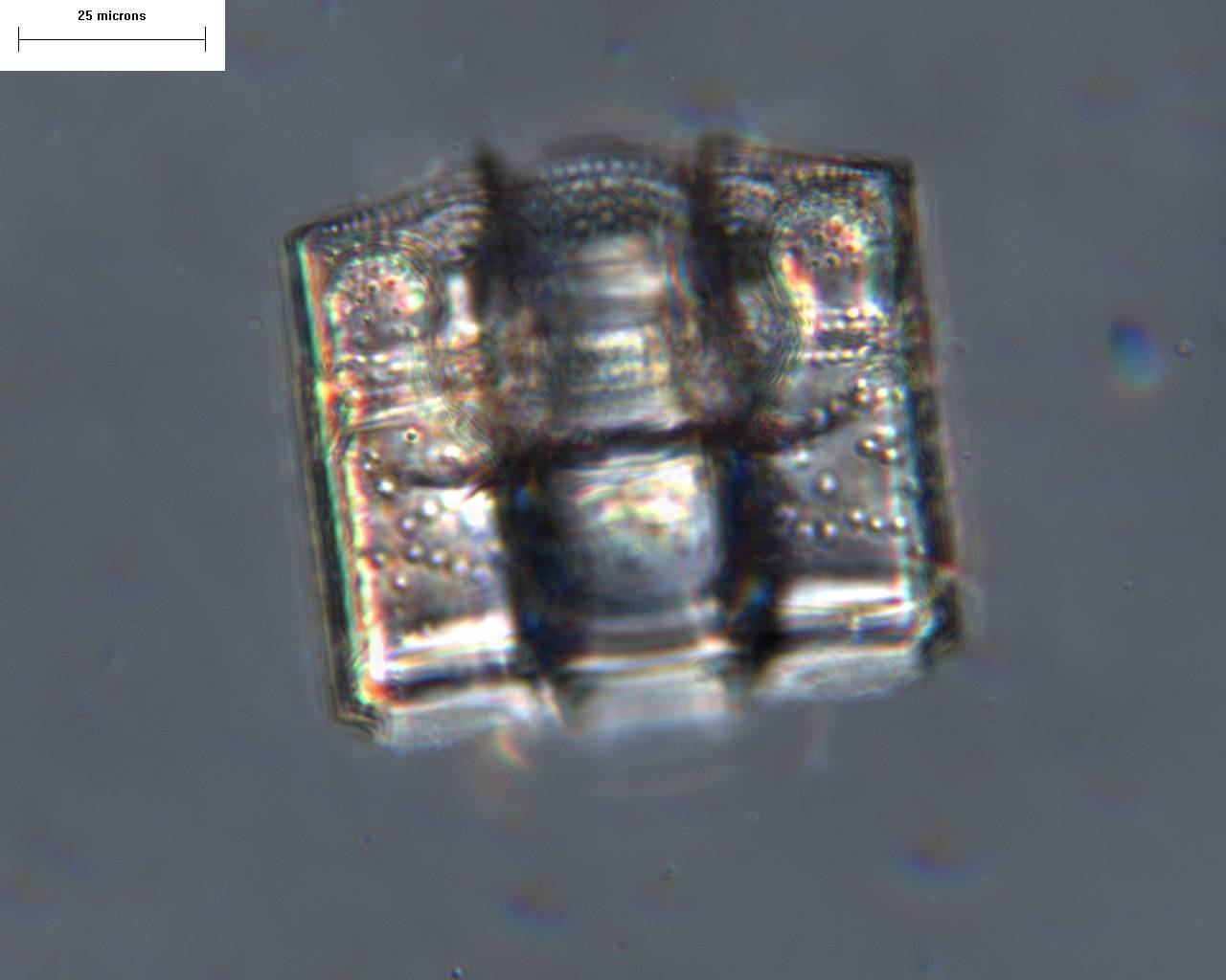 Image of <i>Biddulphia trisinua</i> A. Mann