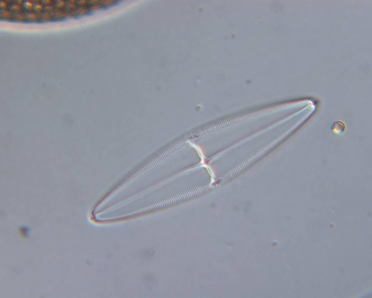 Image of <i>Navicula retrostauros</i> A. Mann