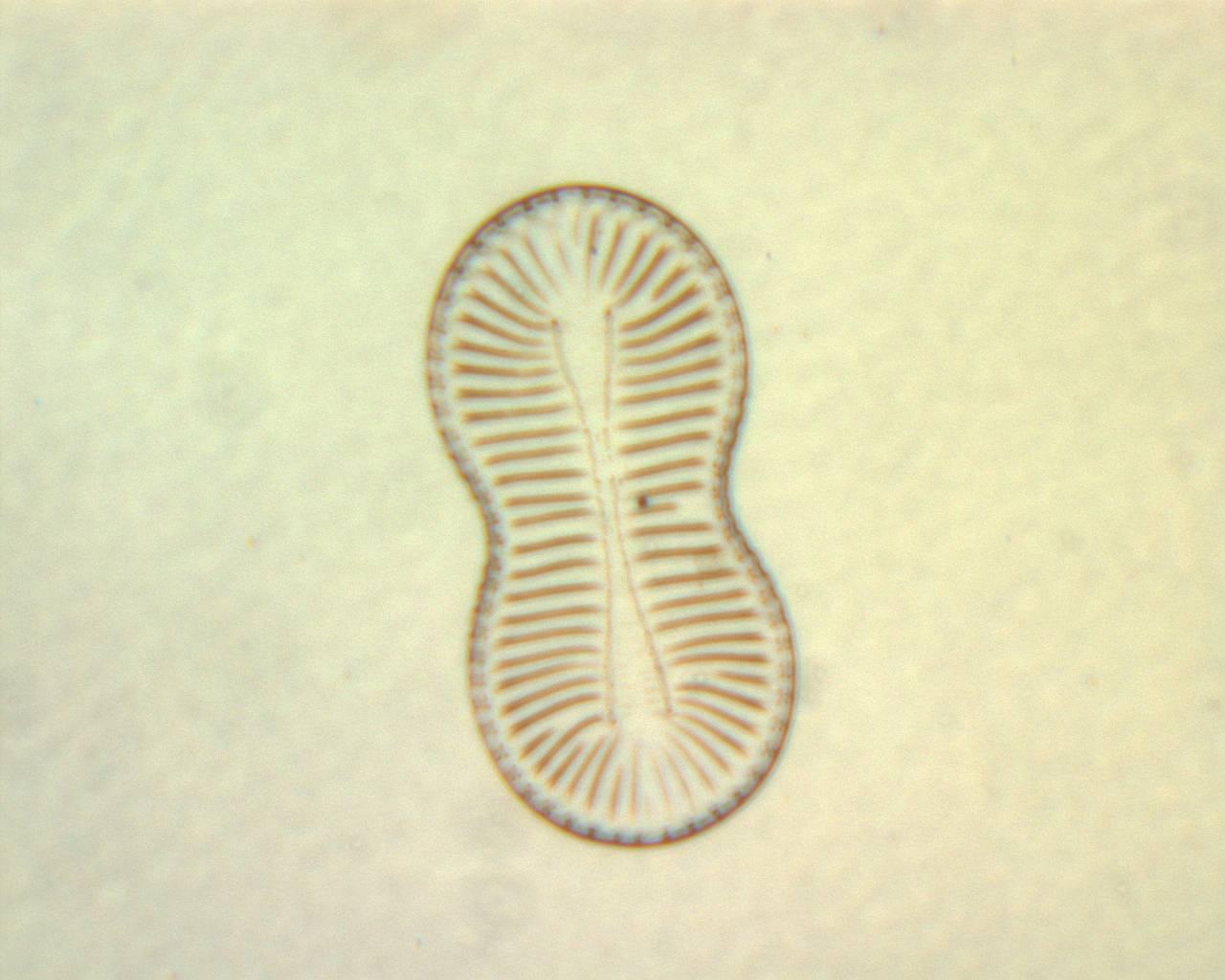 Image of <i>Surirella facilis</i> A. Mann