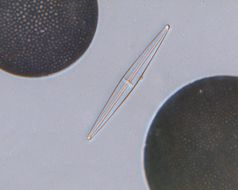 Image of <i>Stauroneis washingtonia</i> A. Mann