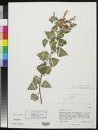 Image of <i>Salvia betulifolia</i> Epling