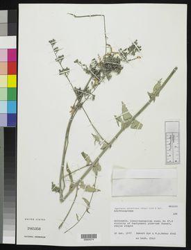 Image of <i>Agastache aurantiaca</i> (A. Gray) Lint & Epling