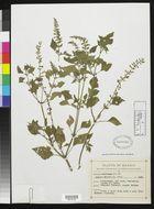 Image of <i>Salvia seemannii</i> Fernald