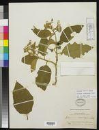 Image of <i>Solanum rudepannum</i> Dunal