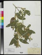 Image of <i>Cestrum tomentosum</i> L. fil.
