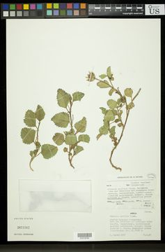 Image of <i>Hibiscus pusillus</i> Thunb.