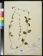 Image of <i>Scutellaria dumetorum</i> Schltdl.