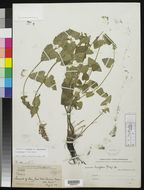 Image of Trans-Pecos giant hyssop