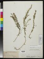 Image of <i>Hedeoma hyssopifolium</i> A. Gray