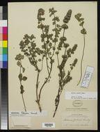 Image of <i>Hedeoma palmeri</i> Hemsl.