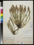 Image of <i>Hedeoma chihuahuensis</i> (Henrard) B. L. Turner
