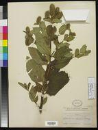 Image of <i>Lepechinia caulescens</i> (Ortega) Epling