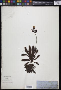 Image of <i>Drosera hilaris</i> Cham. & Schlechtd.