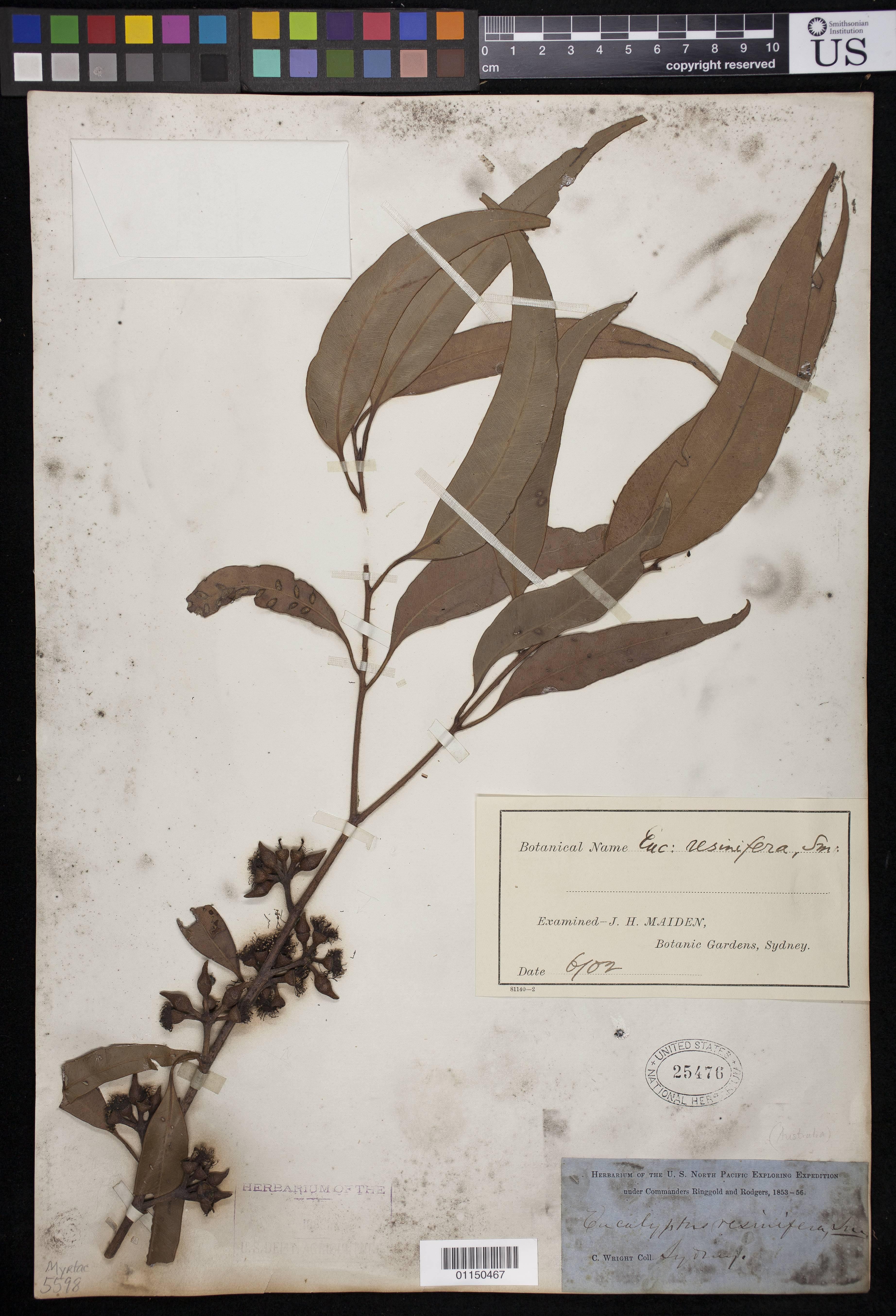 Image of Red Mahogany