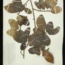 Image of <i>Phragmotheca mammosa</i> W. S. Alverson