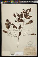 Image of <i>Eugenia nesiotica</i> Standl.