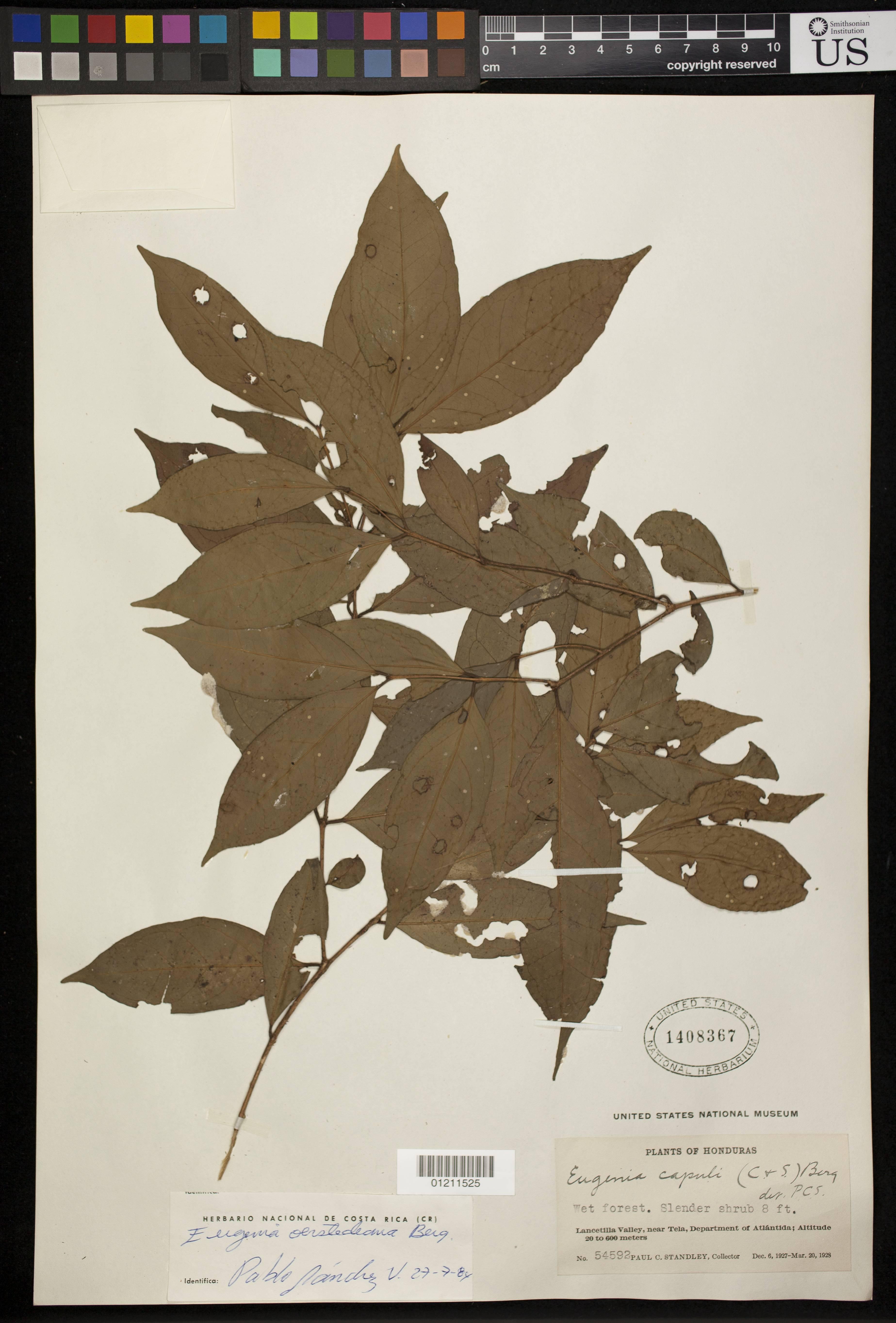 Image of <i>Eugenia balancanensis</i> Lundell