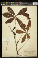 Image of <i>Pseudobombax grandiflorum</i> (Cav.) A. Robyns