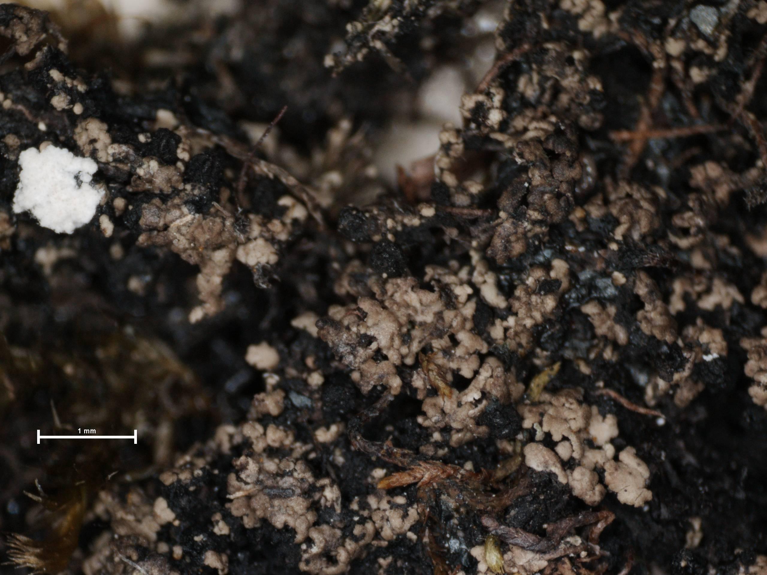 Image of agonimia lichen