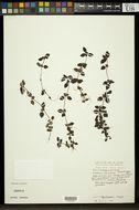 Image of <i>Legazpia polygonoides</i> (Benth.) T. Yamaz.