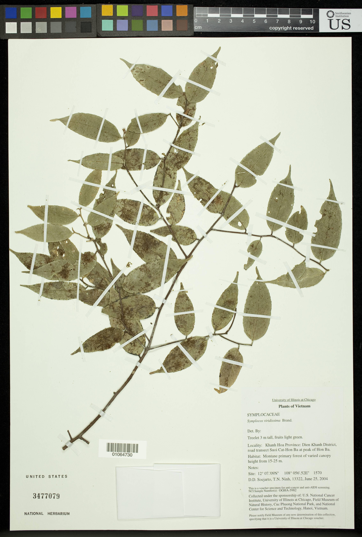 Image of <i>Symplocos viridissima</i> Brand
