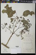 Image of <i>Schefflera elliptica</i> (Blume) Harms