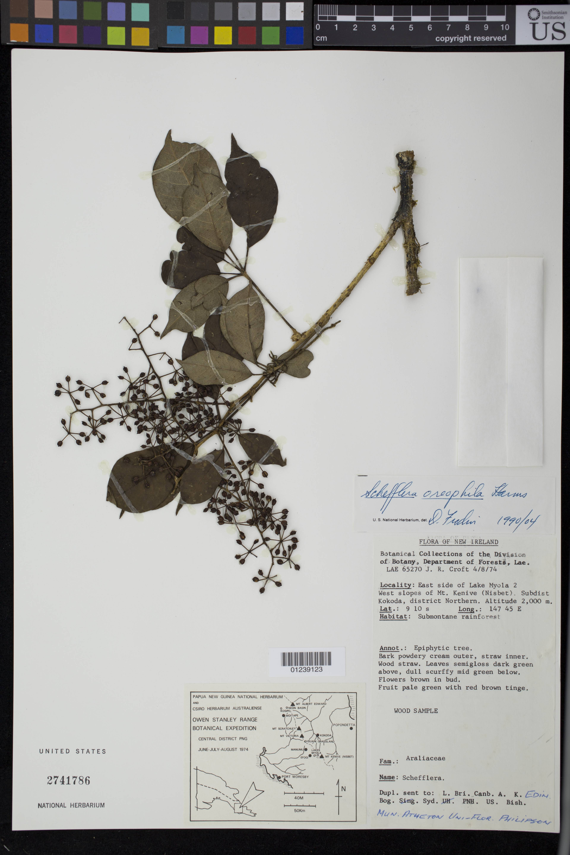 Image of <i>Schefflera oreopola</i> Harms