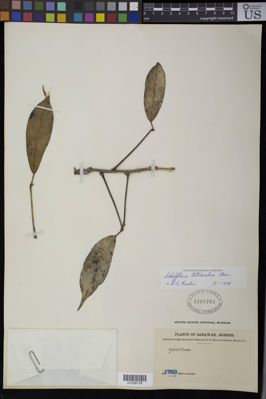 Image of <i>Schefflera tetrandra</i> Merr.