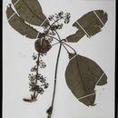 Image of <i>Schefflera goetzenii</i> Harms
