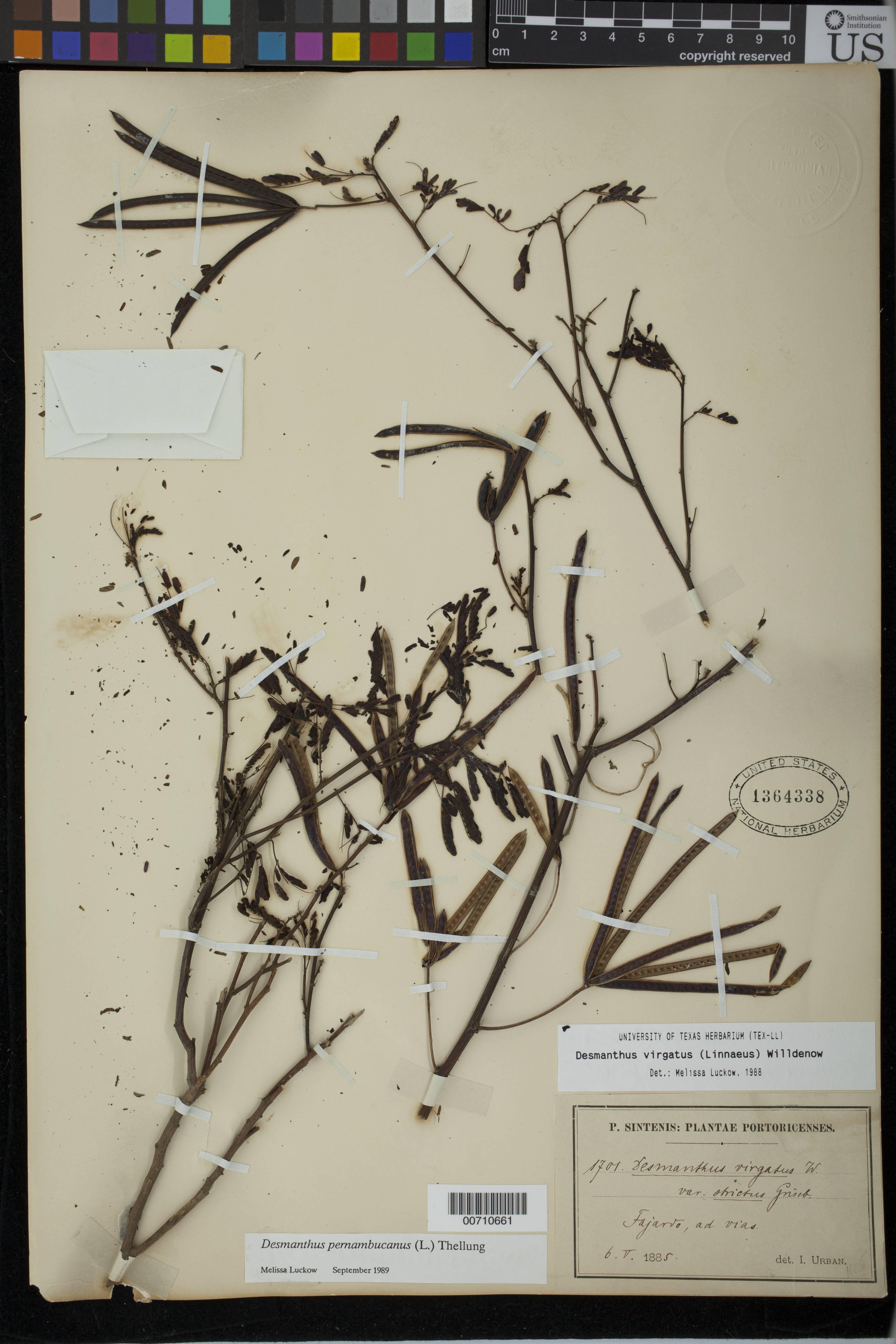 Image of pigeon bundleflower