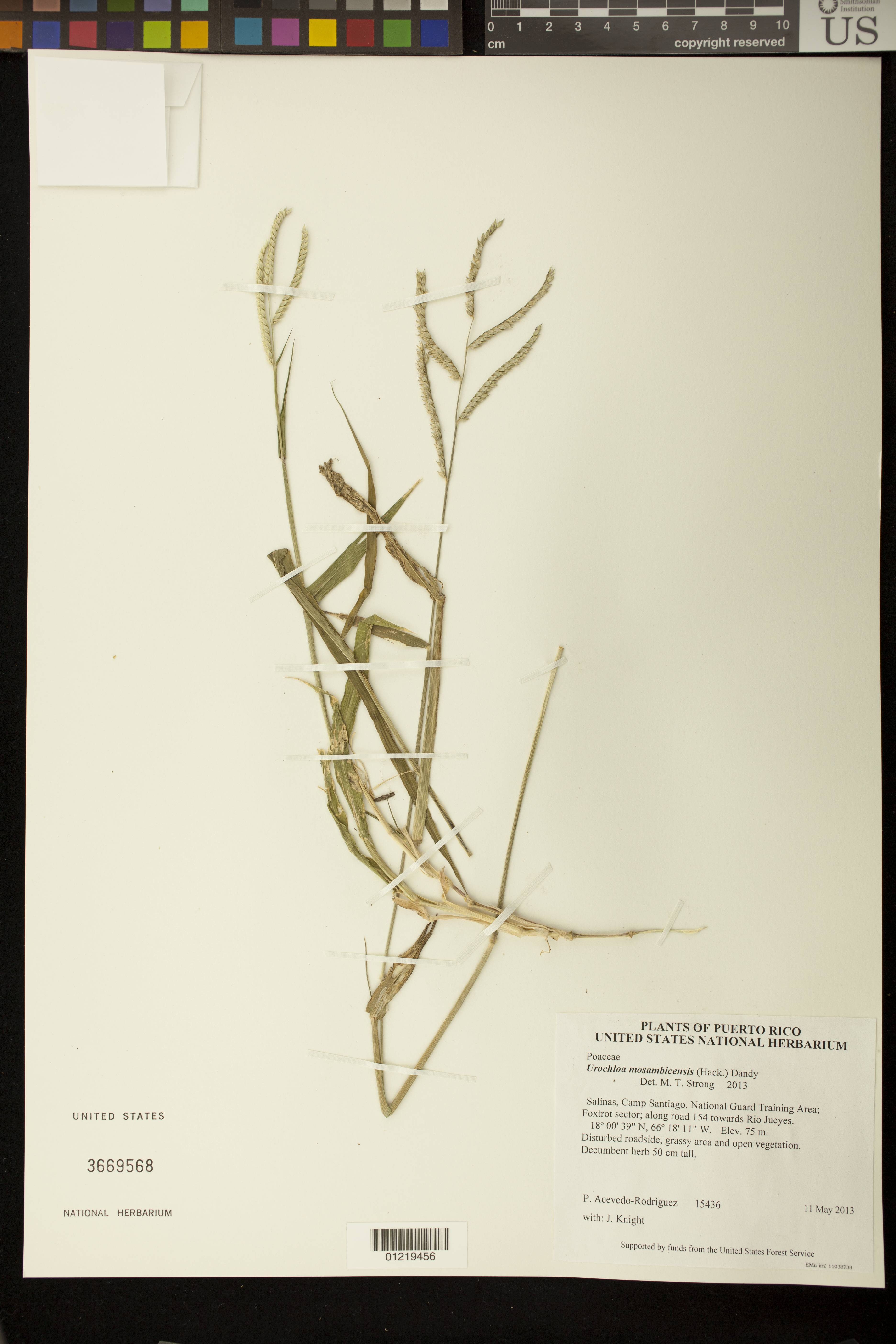 Image of African liverseed grass