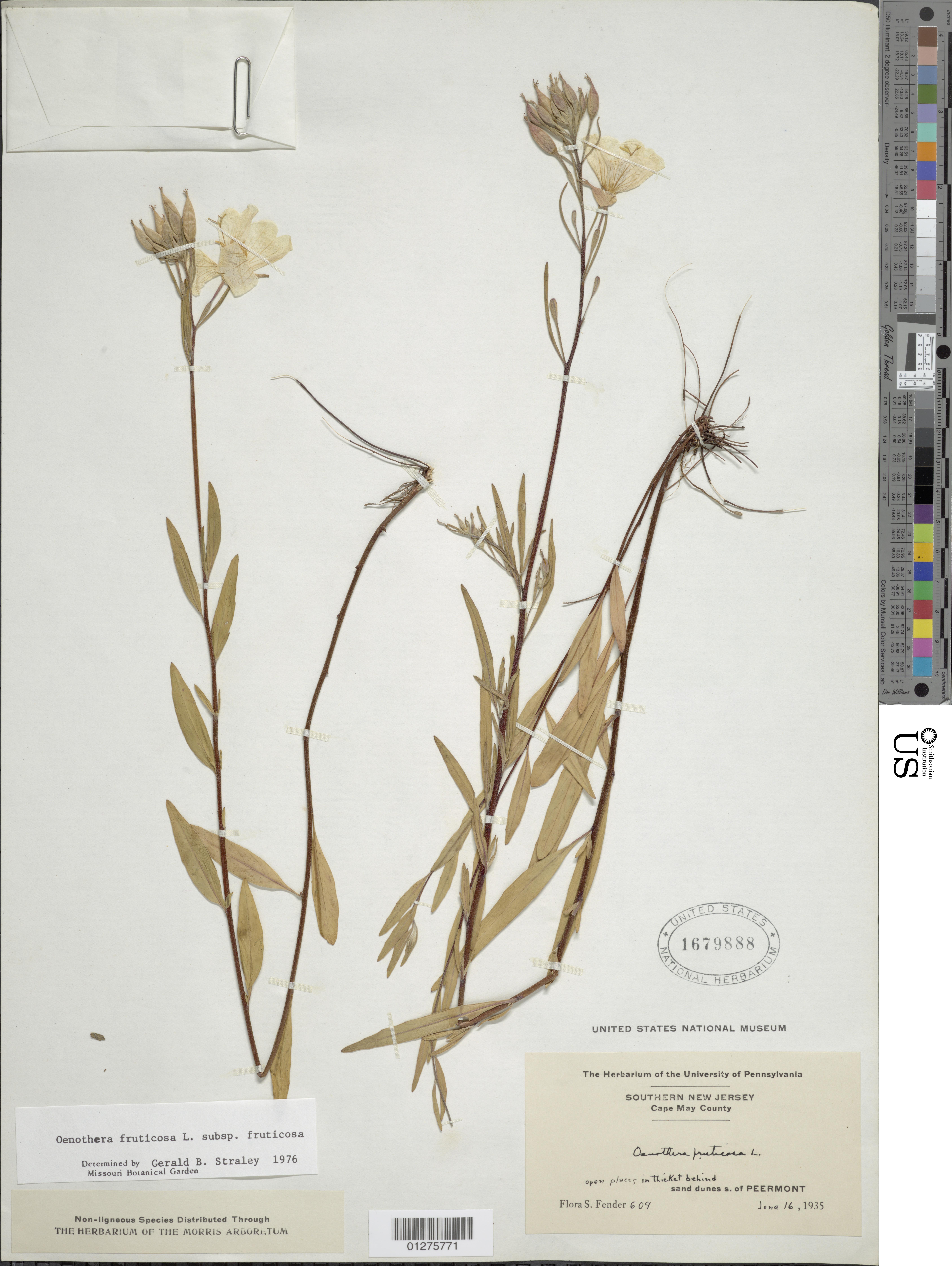 Image of narrowleaf evening primrose