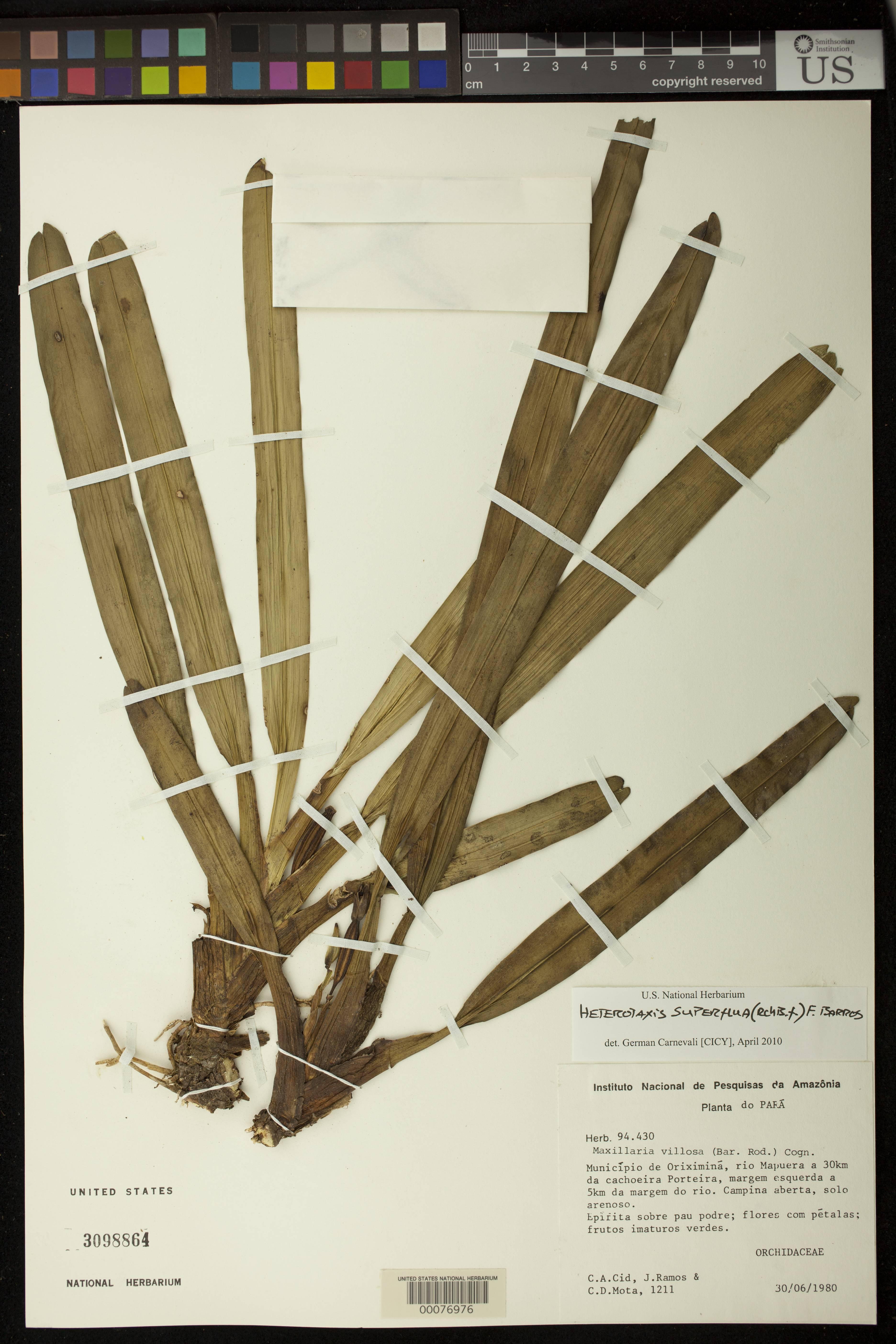 Image of <i>Heterotaxis superflua</i> (Rchb. f.) F. Barros