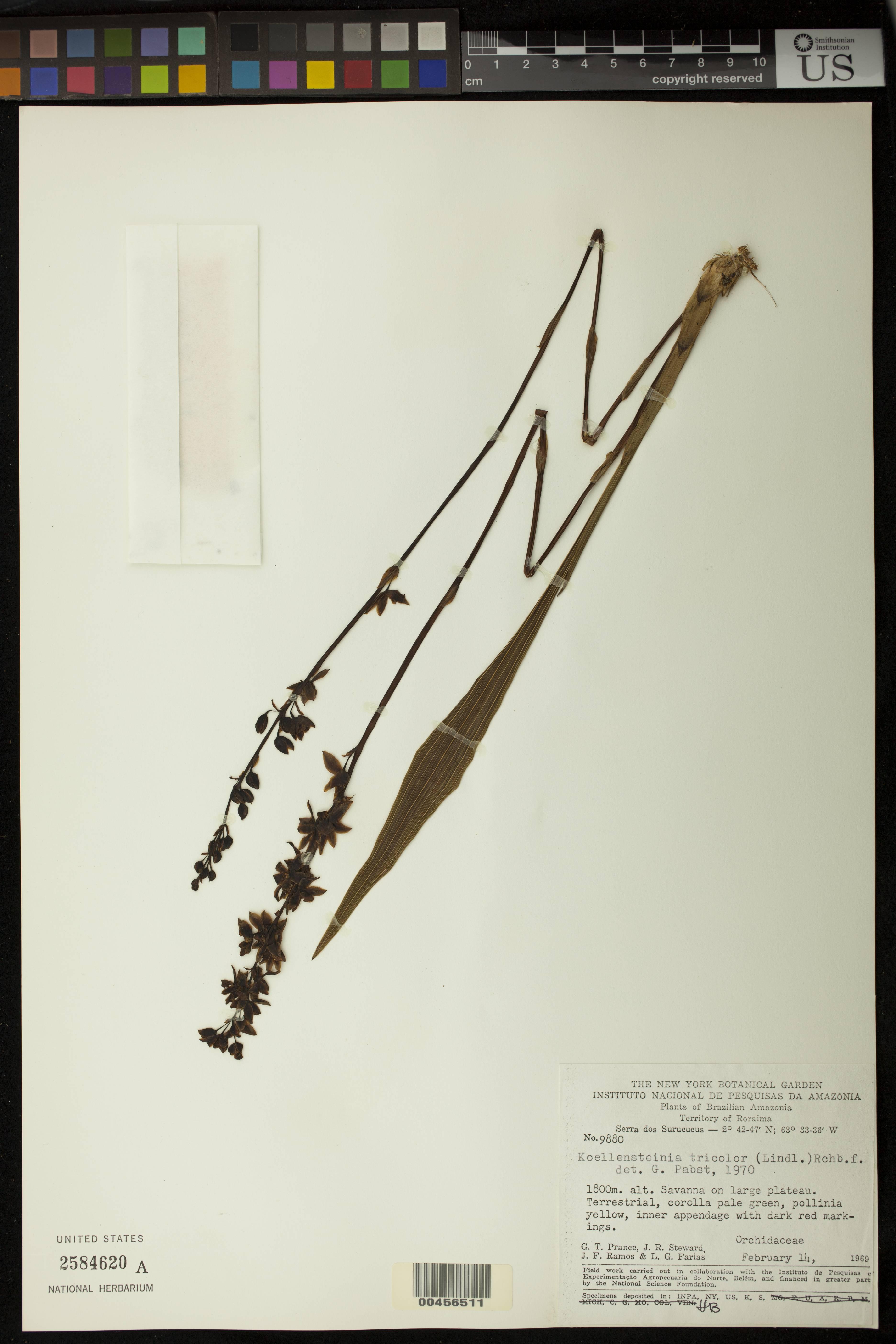 Image of <i>Koellensteinia tricolor</i> (Lindl.) Rchb. fil.