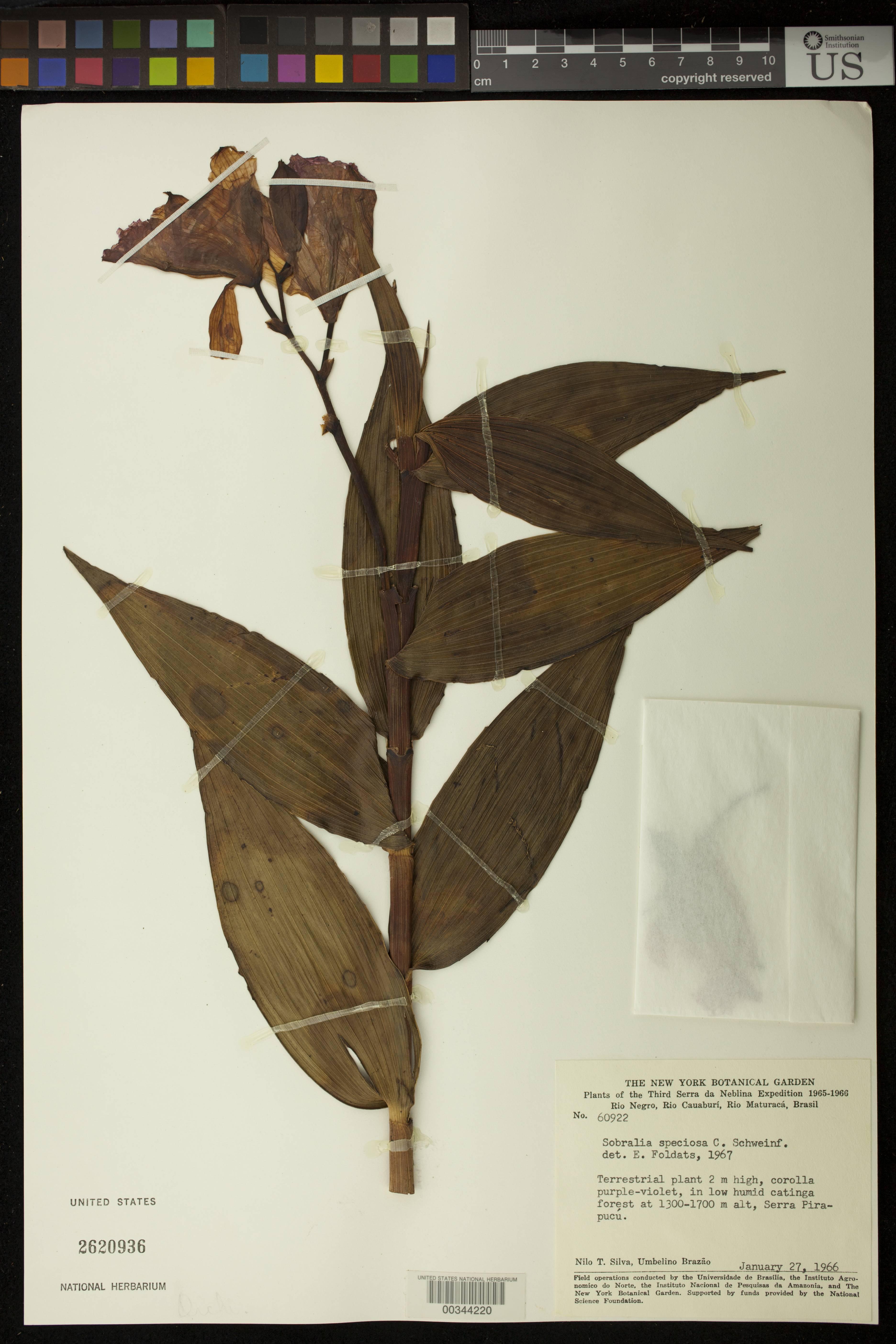 Image of <i>Sobralia speciosa</i> C. Schweinf.