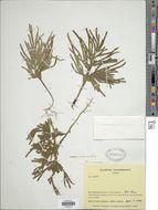 Image of <i>Selaginella amazonica</i> Spring