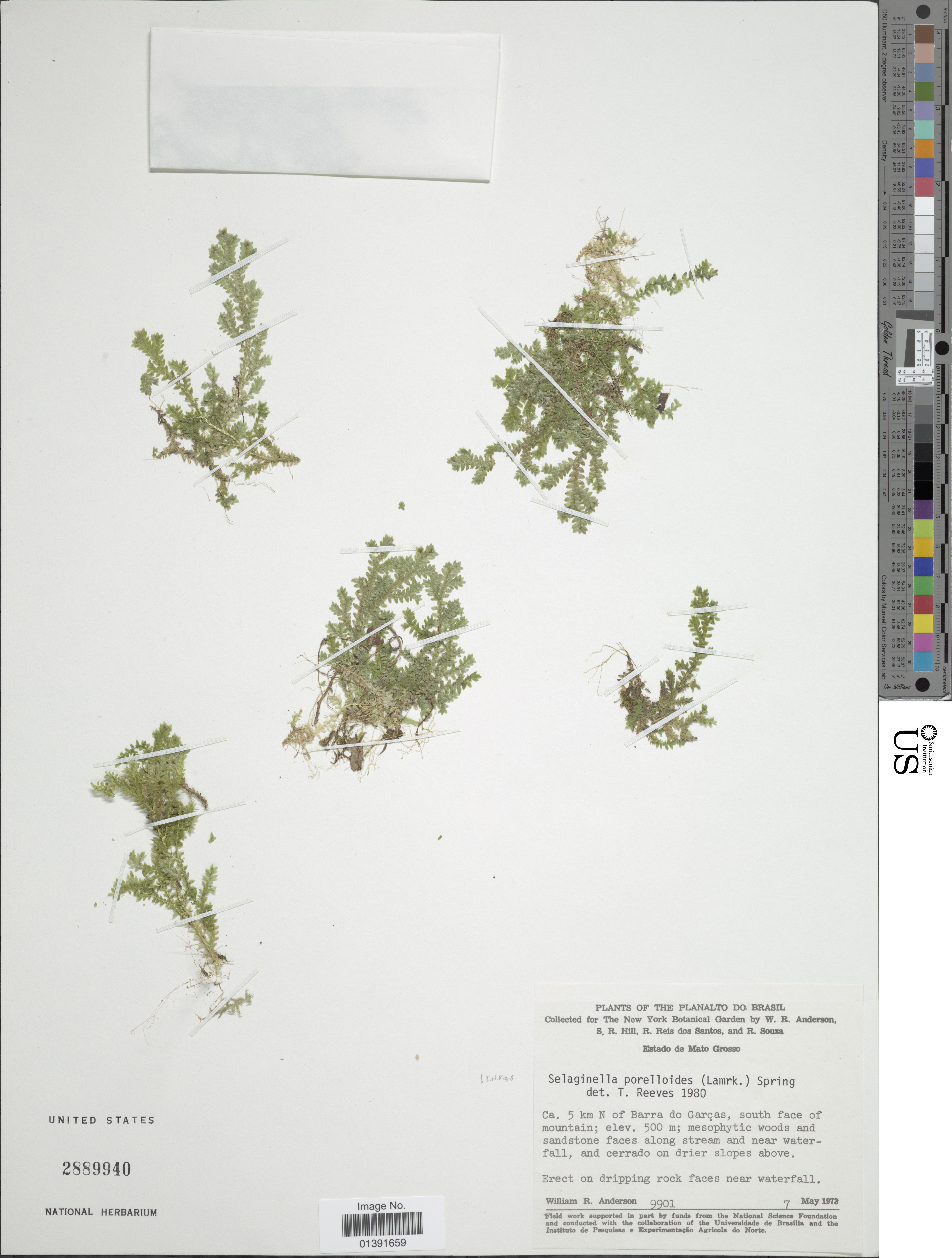 Image of <i>Selaginella porelloides</i> (Lam.) Spring