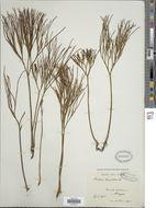 Image of whisk fern