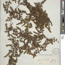 Image of <i>Lygodium venustum</i> Sw.