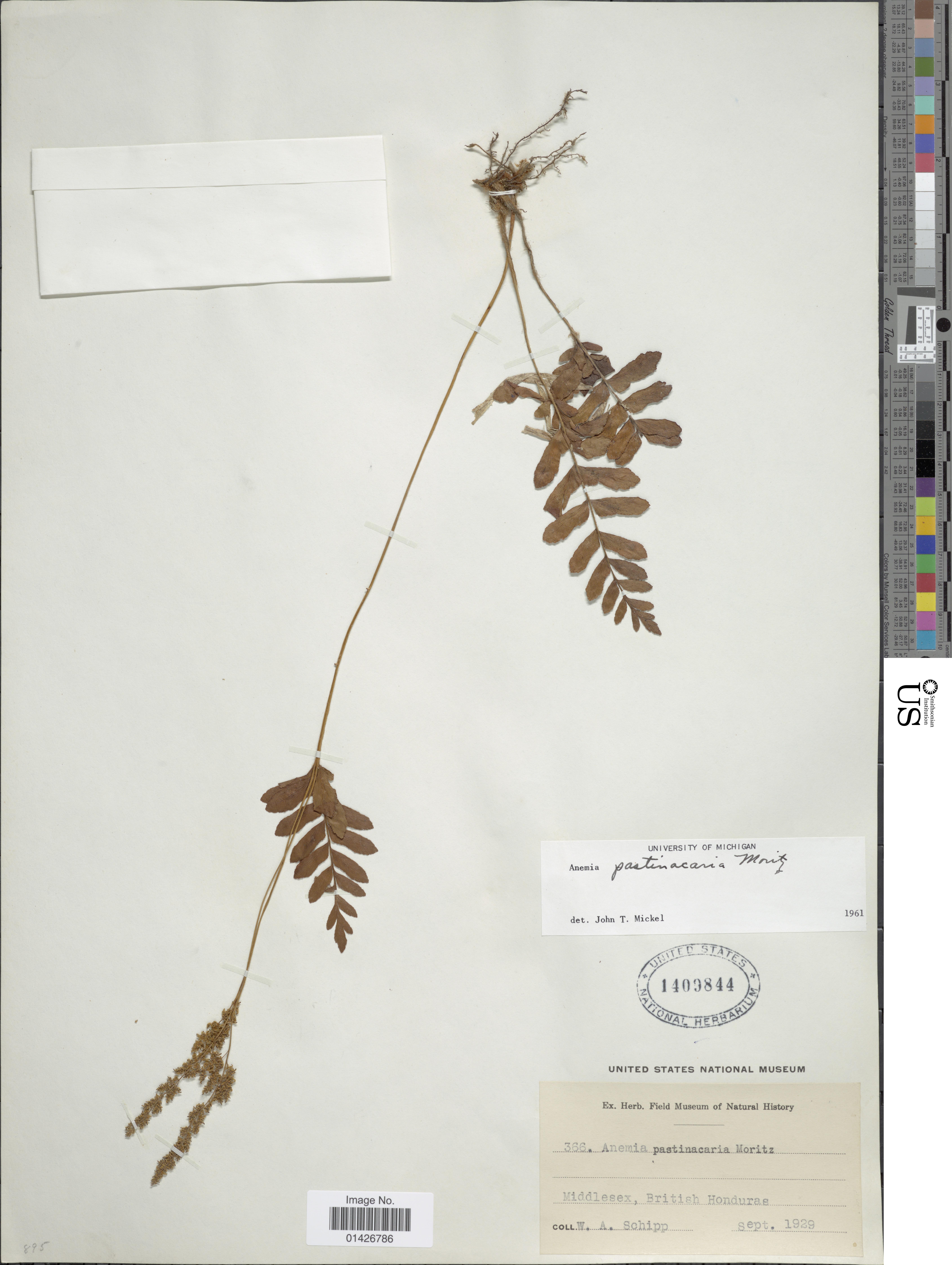 Image of <i>Anemia pastinacaria</i> Moritz ex Prantl
