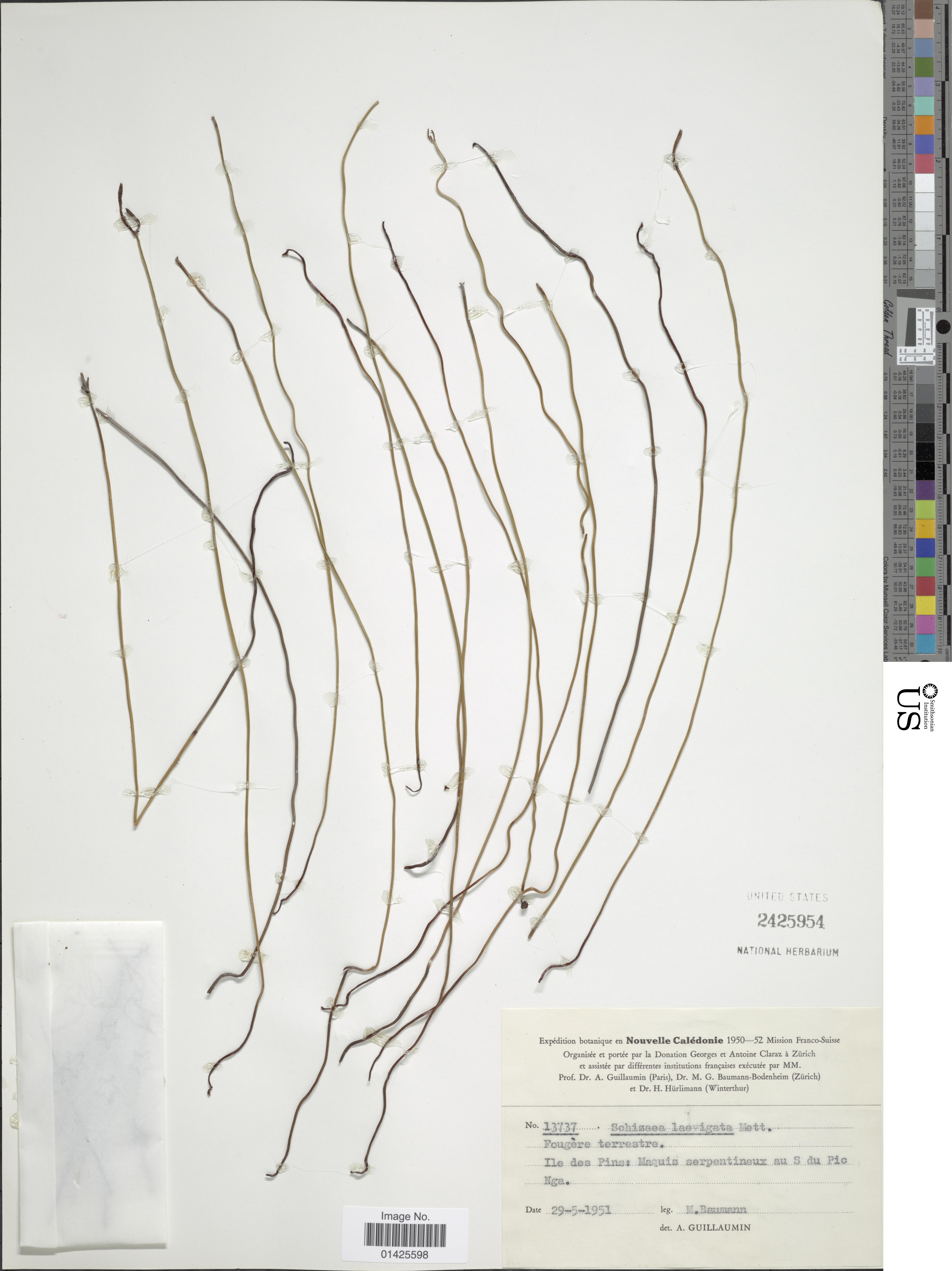 Image of <i>Actinostachys laevigata</i> (Mett.) Reed