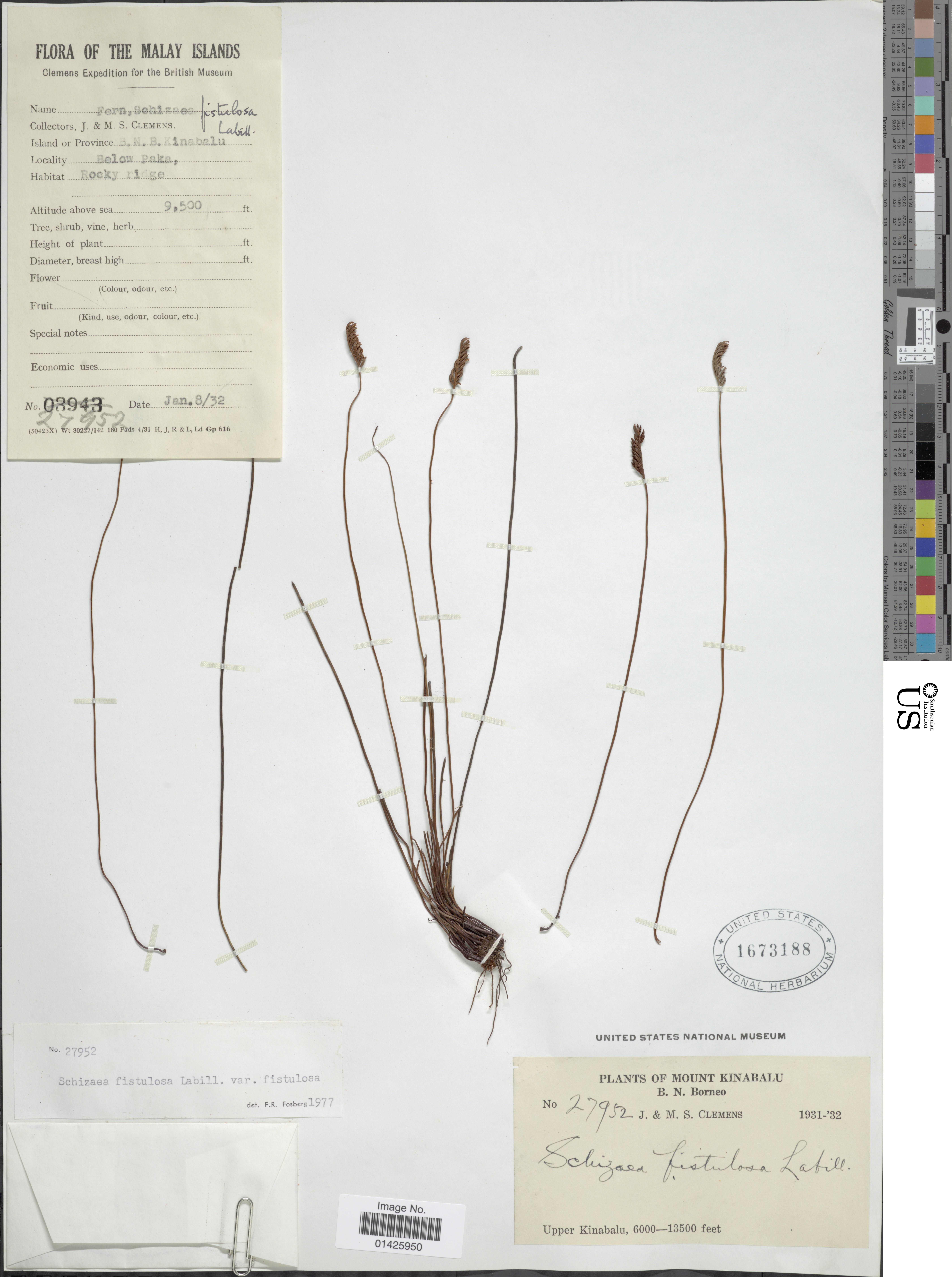 Image of <i>Schizaea fistulosa</i> Labill.