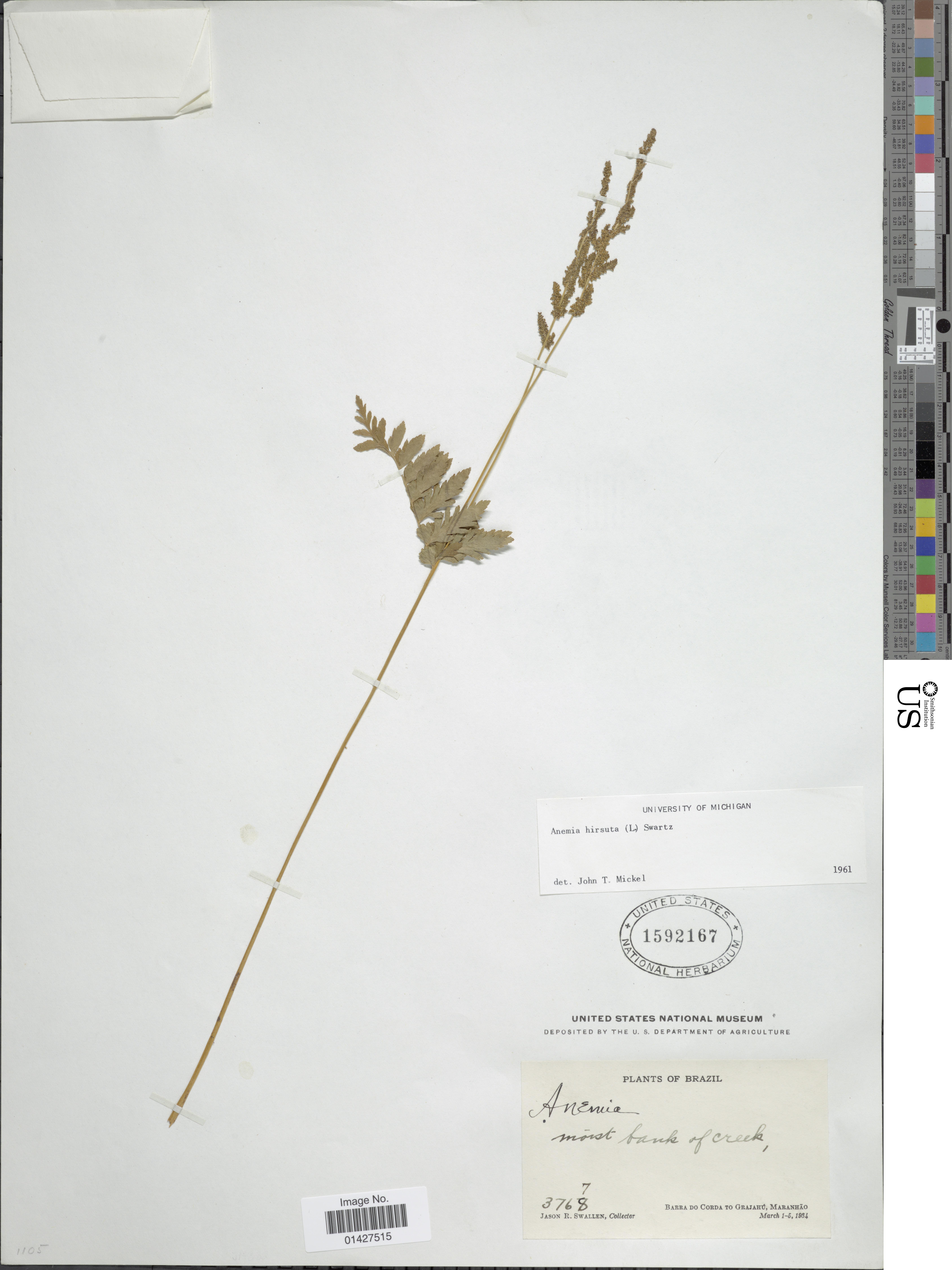 Image of hairy flowering fern
