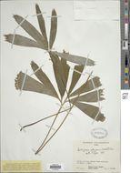 Image of <i>Schizaea elegans</i> (Vahl) Sw.