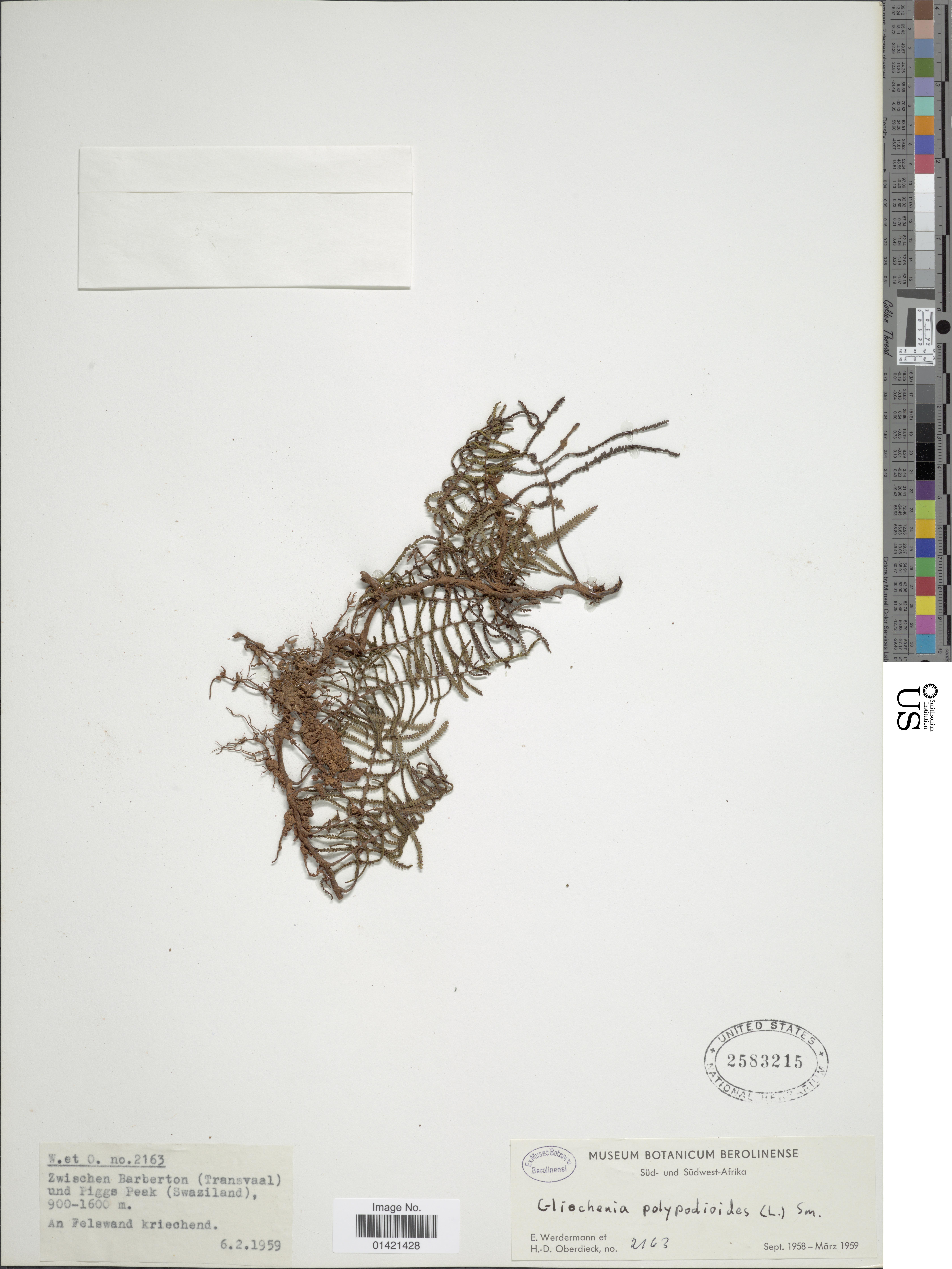 Image of <i>Gleichenia polypodioides</i> (L.) Sm.